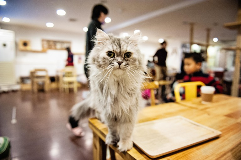 A cat inside a cat cafe in Myeongdong, Seoul