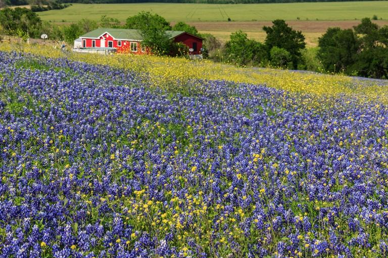 Ennis, Lupinus texensis, Texas, USA, biennial plant, bluebonnets field, spring, plants, agriculture, farm