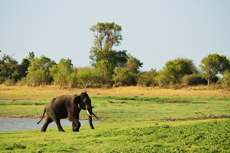 Sri Lankan elephant (Elephas maximus maximus), Minneriya National Park, Sri Lanka, Asia