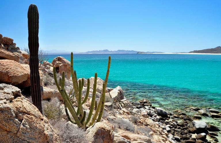 Cardon cactus, Isla Espiritu Santo, Sea of Cortez, Baja California, Mexico.