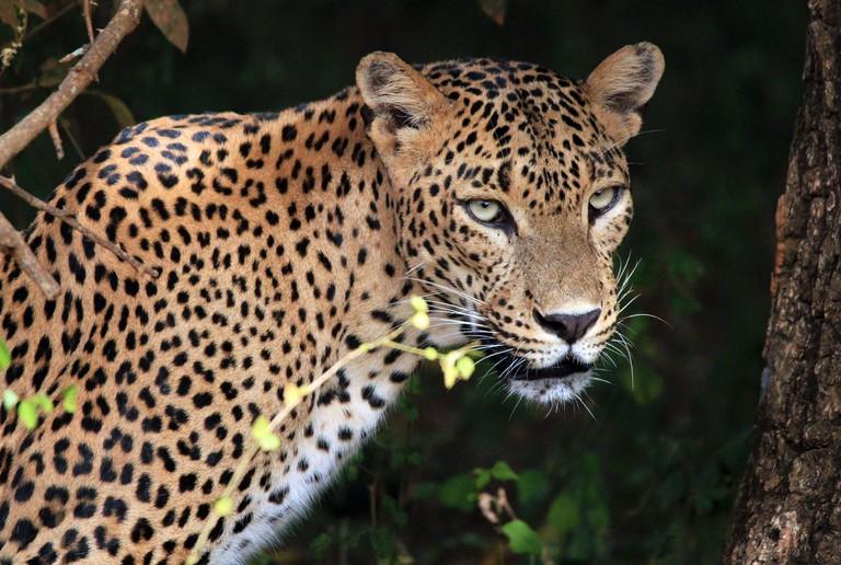 Portrait of an Sri Lankan Leopard (Panthera Pardus Kotiya), Yala, Sri Lanka