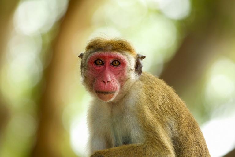 Portrait of an alert macaque monkey, Yala National Park, Sri Lanka, Asia