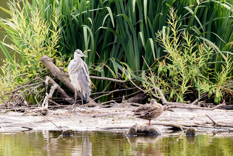 T0F2MB A heron and a duck amongst plants at Earlswood Lakes