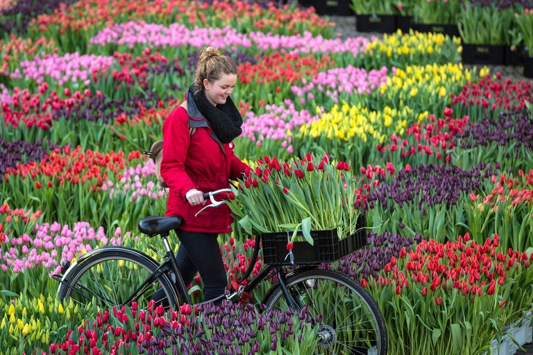 Netherlands, Amsterdam, Start tulip season at Dam Square. People can pick the tulips for free. National Tulip Day. Girl bicycle