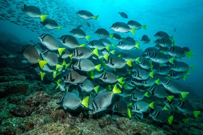 Shoal of Razor Surgeonfish, Prionurus laticlavius, Playa del Coco, Guanacaste, Costa Rica