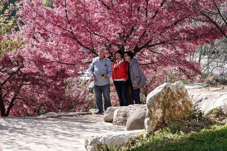 Jerusalem, Israel. 16th Feb, 2021. Japanese Sakura cherry blossoms, of the Prunus campanulata species, bloom at the Hebrew University Botanical Gardens, coinciding with post lockdown reopening. Credit: Nir Alon/Alamy Live News
