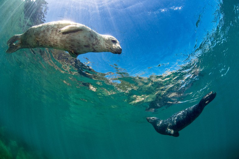 Young female and young male grey seal (Halichoerus grypus) swimming in shallows. Lundy Island, Devon, England, United Kingdom. British Isles. Bristol Channel.
