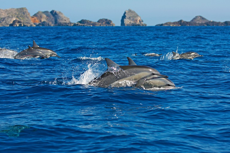 Spinner dolphins (Stenella longirostris), jump out of the water, Dolphin School, Ogasawara Islands, Japan