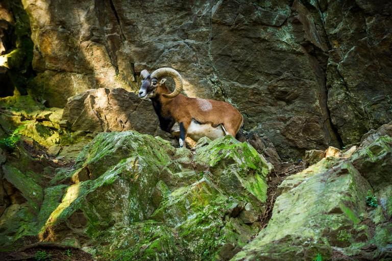 France, Les Houches, Haute-Savoie, Merlet animal park, mouflon, ovis aries