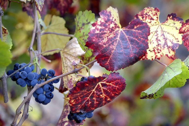 FRIDAY, OCTOBER 03, 2008, NAPA, CA -  Cabernet sauvignon grapes await harvest at Truchard Vineyards along Old Sonoma Road.  J.L. Sousa/Register