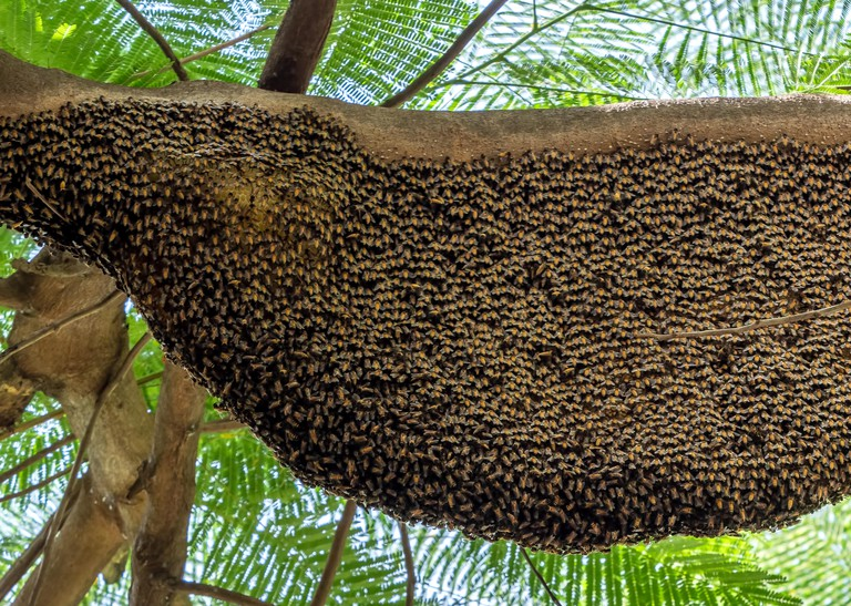 W4FP12 Closeup Huge Beehive of Giant Honey Bees on a Branch. Rafter Beekeeping