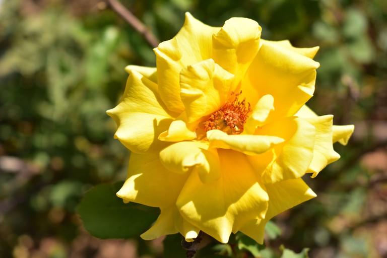 Yellow rose closeup in Wohl Rose Garden Jerusalem Israel