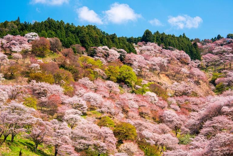 Cherry blossoms Yoshino-Kumano-National-Park_E3XD39