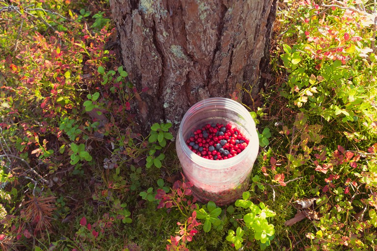 Lingonberries mixed with wild blueberries in jar lit with sun beside a pine tree among lingonberry and blueberry (with reddened leaves) plants.