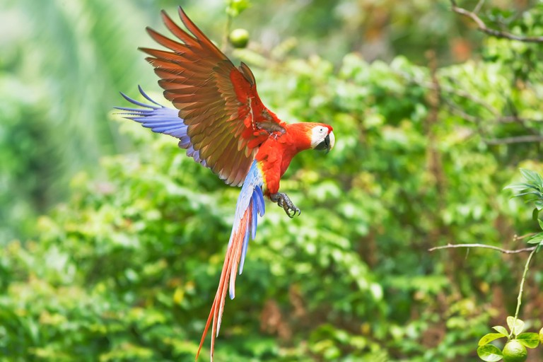 Scarlet Macaw (Ara macao) in flight, Corcovado National Park, Osa Peninsula, Costa Rica