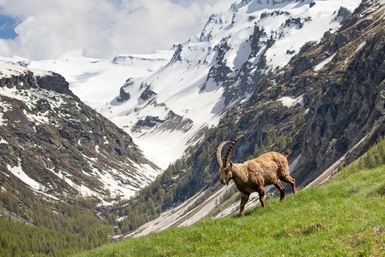 Alpine Ibex (Capra ibex) in its landscape, Valsavarenche, Gran Paradiso national park, Aosta Valley, Italy, May