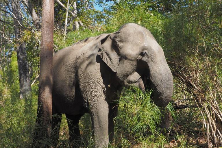 Feeding Wild Female Asian Elephant in Yok Don National Park, Vietnam