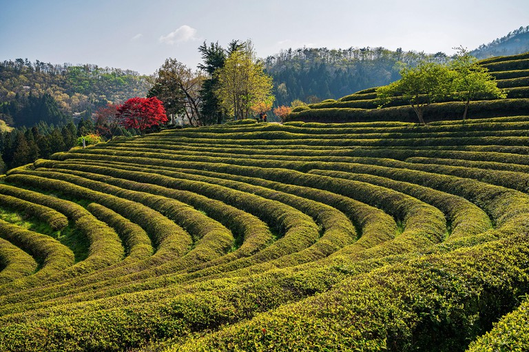 Beosong County, South Korea - 18 APRIL 2020: Boseong County is home to the highest producing tea fields in Korea, renowed for the quality of the green
