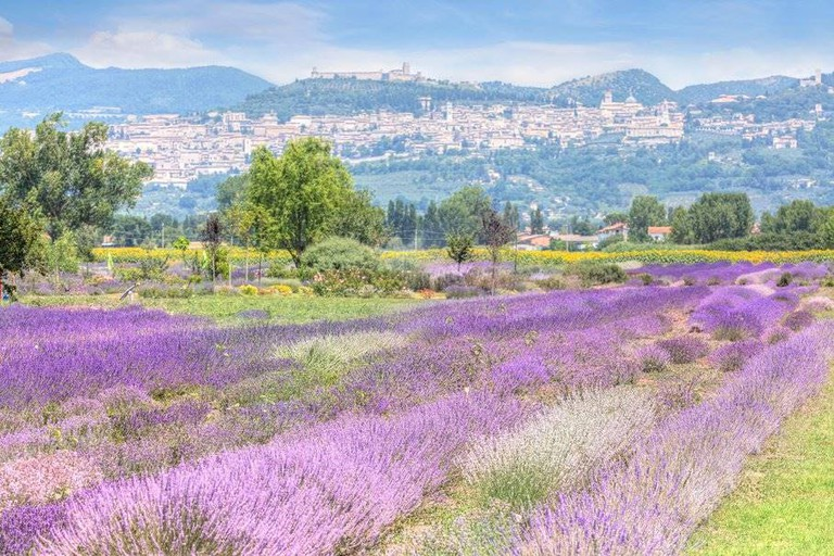 lavender fields in Assisi 2C7D8R4 (1)