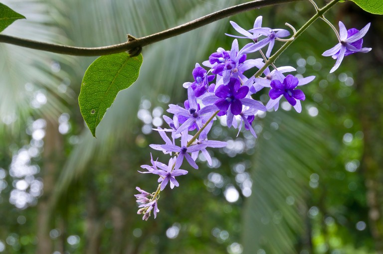 Sandpaper Vine flower or Purple Wreath hanging from the tree with blurry green background, growing wild at Puerto Limon, Costa Rica