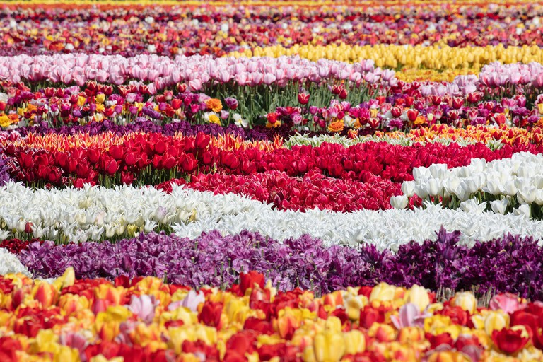 The Netherlands, Noordwijkerhout, in the heart of the bulb-growing region, which is famed for its tulips.