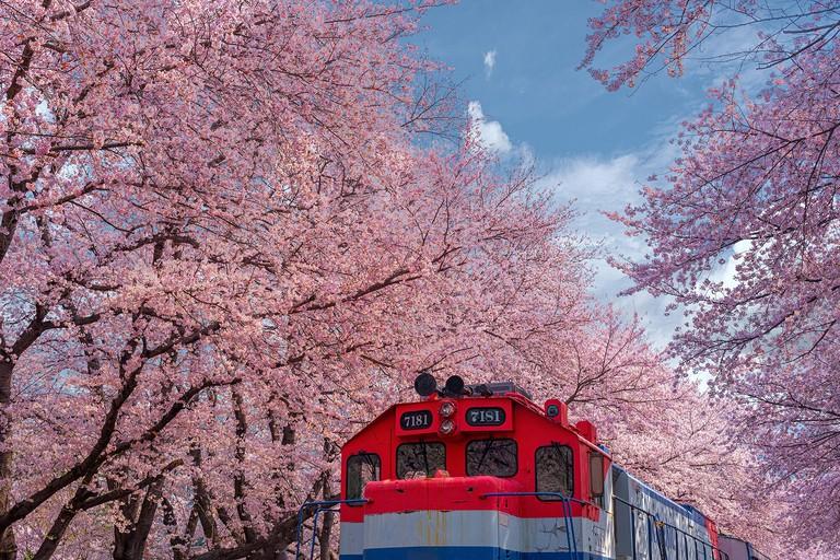 Spring Cherry blossom Jinhae Gunhangje festival 2019 at Gyeonghwa railway station of South Korea.