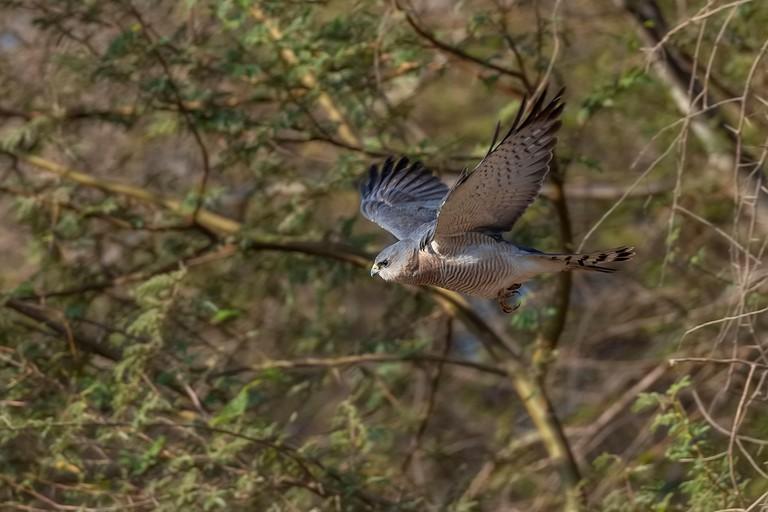 Levant Sparrow Hawk, Aqaba Bird Observatory
