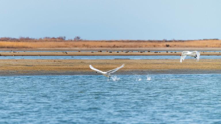 Wild swans on the lake