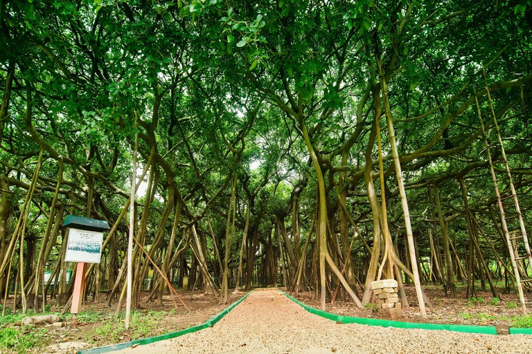 The Great Banyan is a banyan tree (Ficus benghalensis) located in Acharya Jagadish Chandra Bose Indian Botanic Garden, Howrah, near Kolkata, , West Be