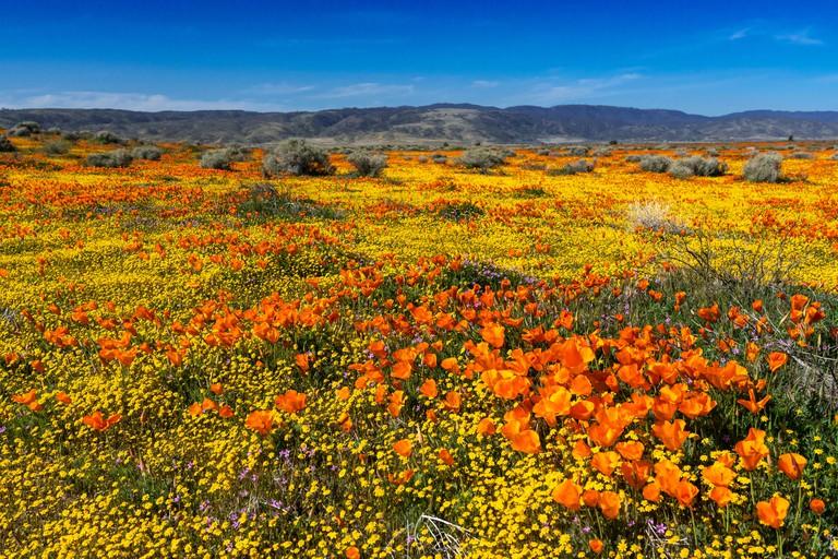 Antelope-Valley-California-Poppy-Reserve_TA7DGF