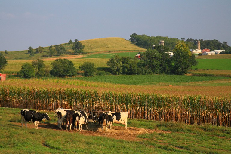 Feeding Dairy Cows, Dayton, Shenandoah Valley, Virginia, USA
