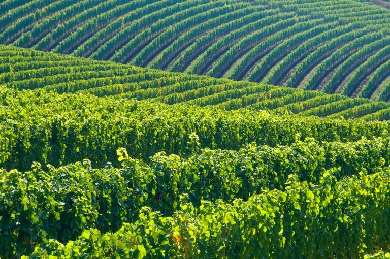Bella Vida vineyard, Yamhill County, Oregon.