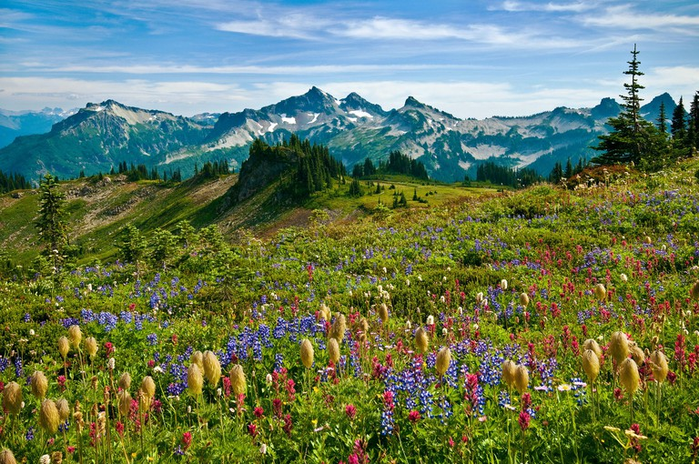 Wildflowers in meadow and view to Tatoosh Range from Skyline Trail in Paradise area; Mount Rainier National Park, Washington.