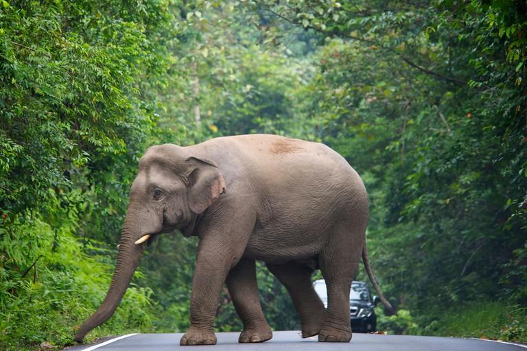 C3WGPX Endangered wild Asian or Asiatic (Elephas maximus) Elephant in Khao Yai National Park, Thailand.