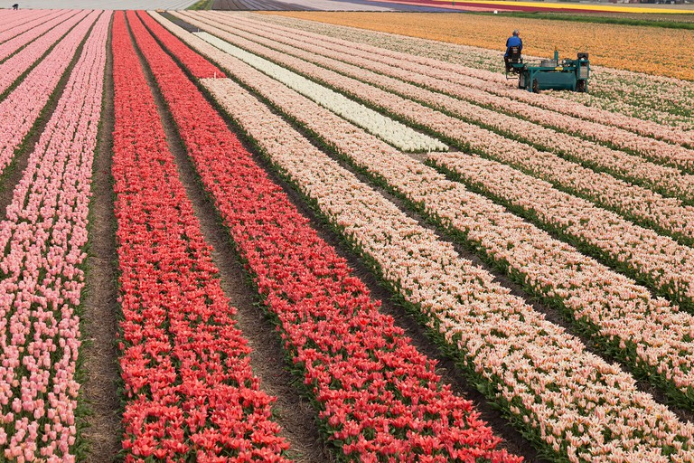 Holland, Dune and Bulb Region in April, Lisse, fields of tulips and hyacinths, machine to cut flowers to encourage the bulbs.