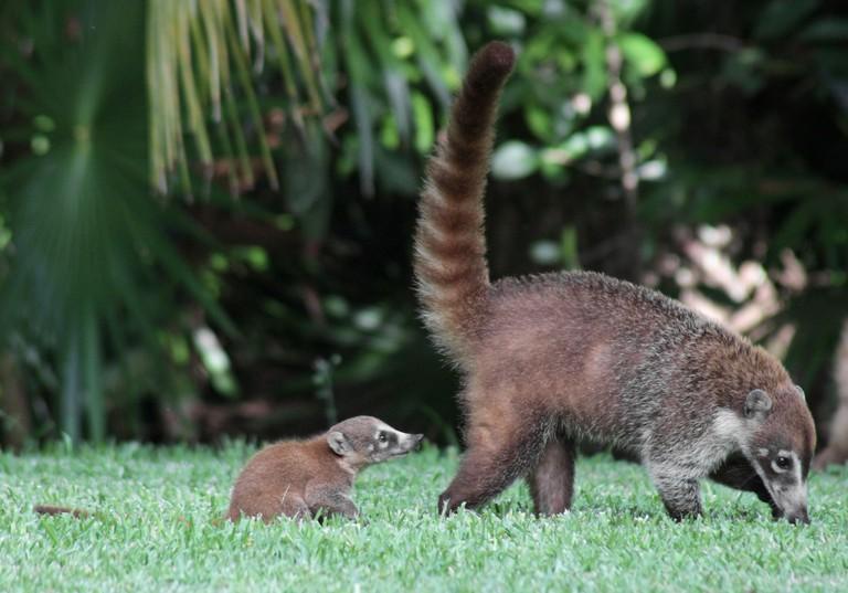 Baby Coati Following Mom