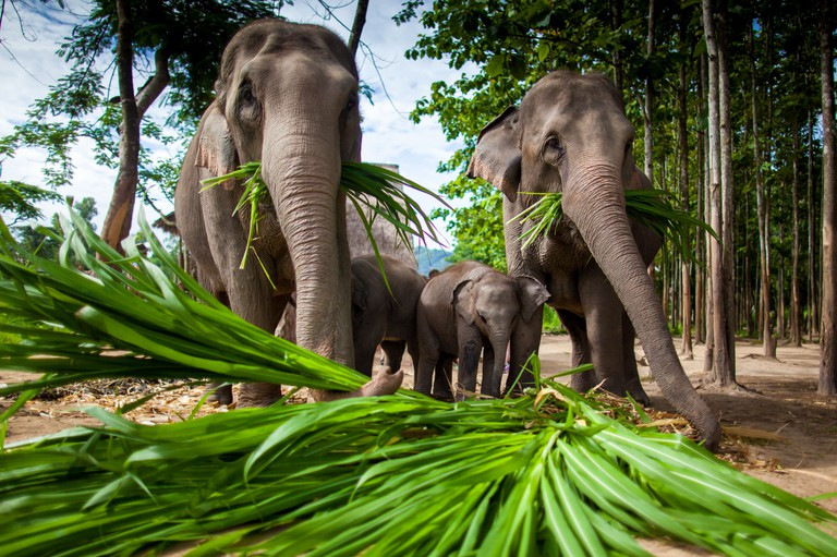 Chiang Mai, THAILAND - June 16, 2012: Group of elephants playing, eating sugar cane with their herd.