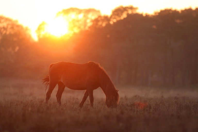 New Forest Ponies grazing at Dusk in the New Forest UK near Beaulieu