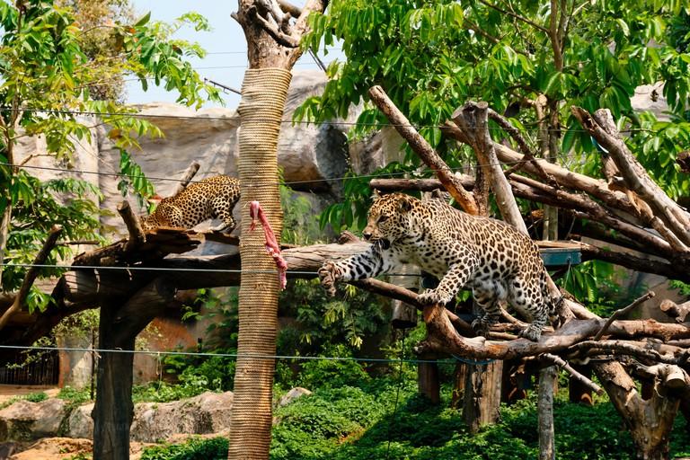EWYKC8 Leopard looking for beef, Korat zoo, Nakhon Ratchasima province, Thailand