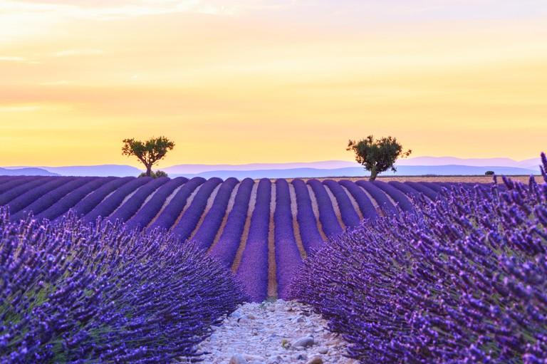 Beautiful sunset lavender field summer landscape near Valensole.Provence,France