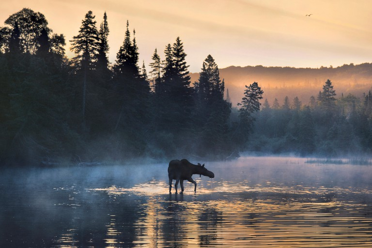 Moose (Alces alces andersoni) female wading through water, Isle Royale National Park, Michigan
