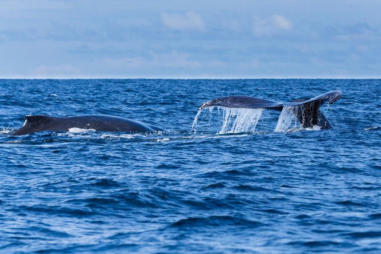 Two Humpback Whales (Megaptera Novaeangliae), with fluke, Bahia Solano, El Choco, Colombia