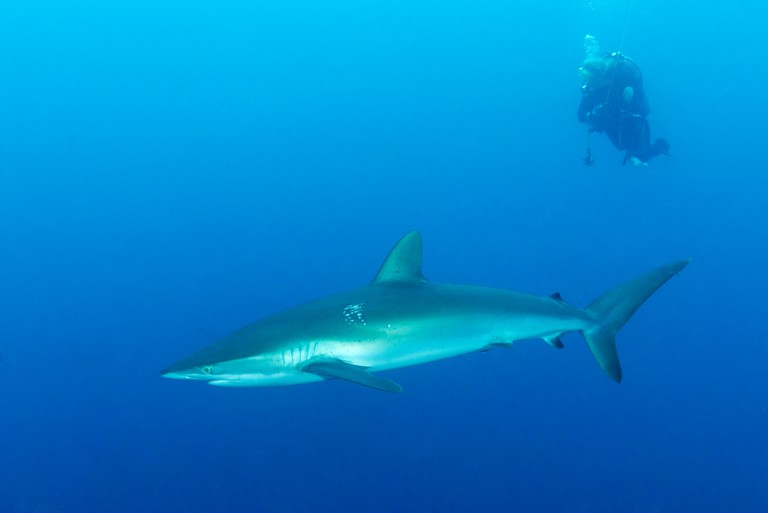 Silky shark and scuba diver, Malpelo Island, Colombia, East Pacific Ocean. Image shot 2013. Exact date unknown.