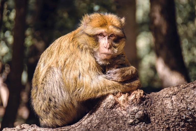 Portrait barbary macaque monkey on a stub, Ifrane, Morocco