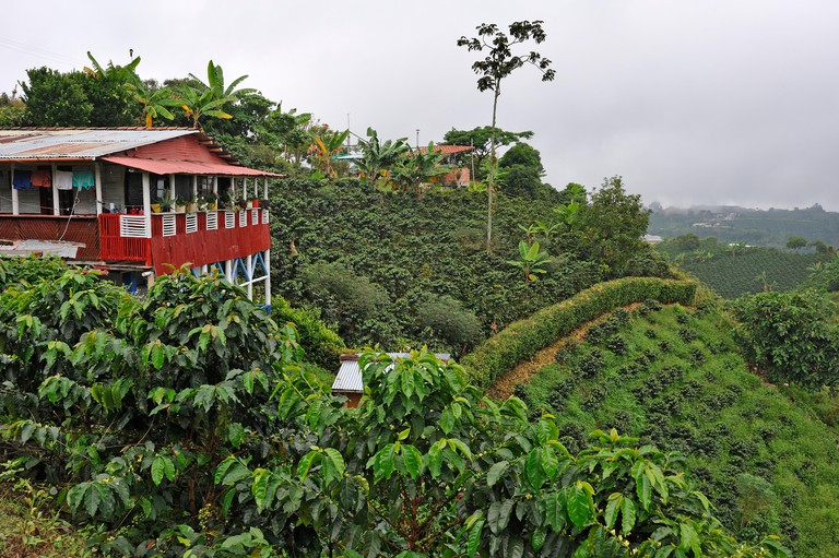 coffee plantation in the region of Armenia, department of Quindio, Cordillera Central of the Andes mountain range, Colombia, South America.