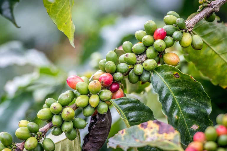 Ripe coffee beans (coffea arabica) on a coffee bush in Aquires, Costa Rica, with leaves that show coffee rust.