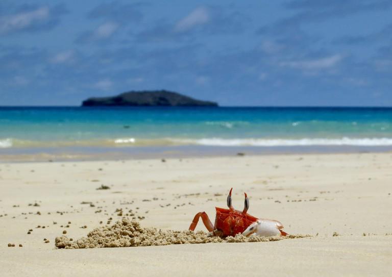 A Ghost Crab digs a hole on Olivine Beach on the island of Floreana, Galapagos, Ecuador