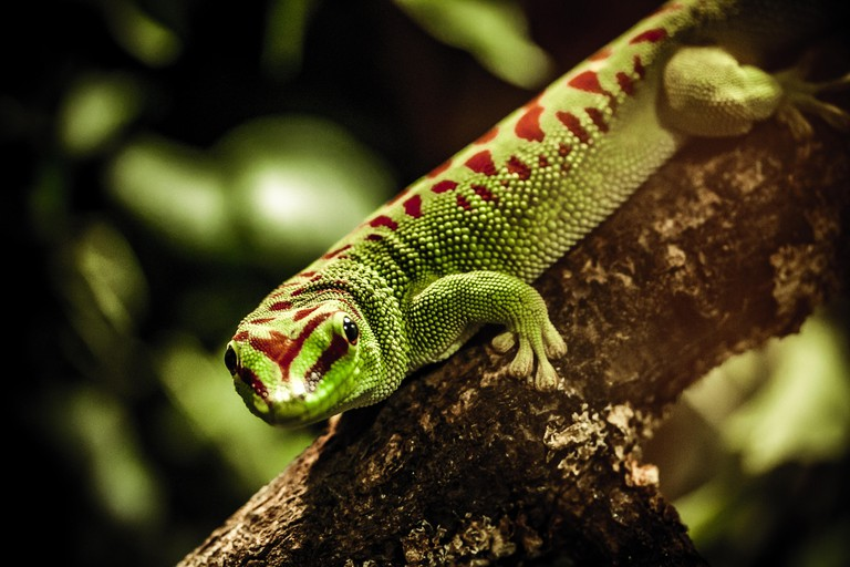 Gold Dust Day Gecko staring through glass at London Zoo. Image shot 2016. Exact date unknown.