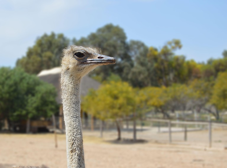 A curious ostrich staring at the camera