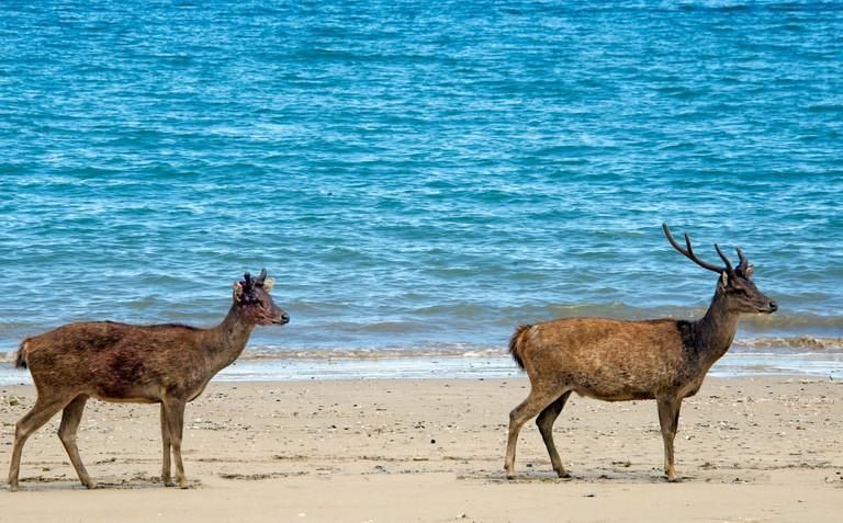 Timor rusa deer Komodo Island Komodo National Park Indonesia G1KXDN